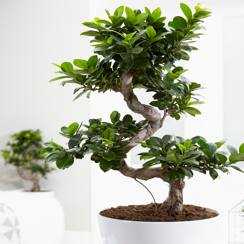 Ideal Gift Plant For Home Or Office Ficus Ginseng Decorative Indoor Bonsai 5051641551999 Ebay