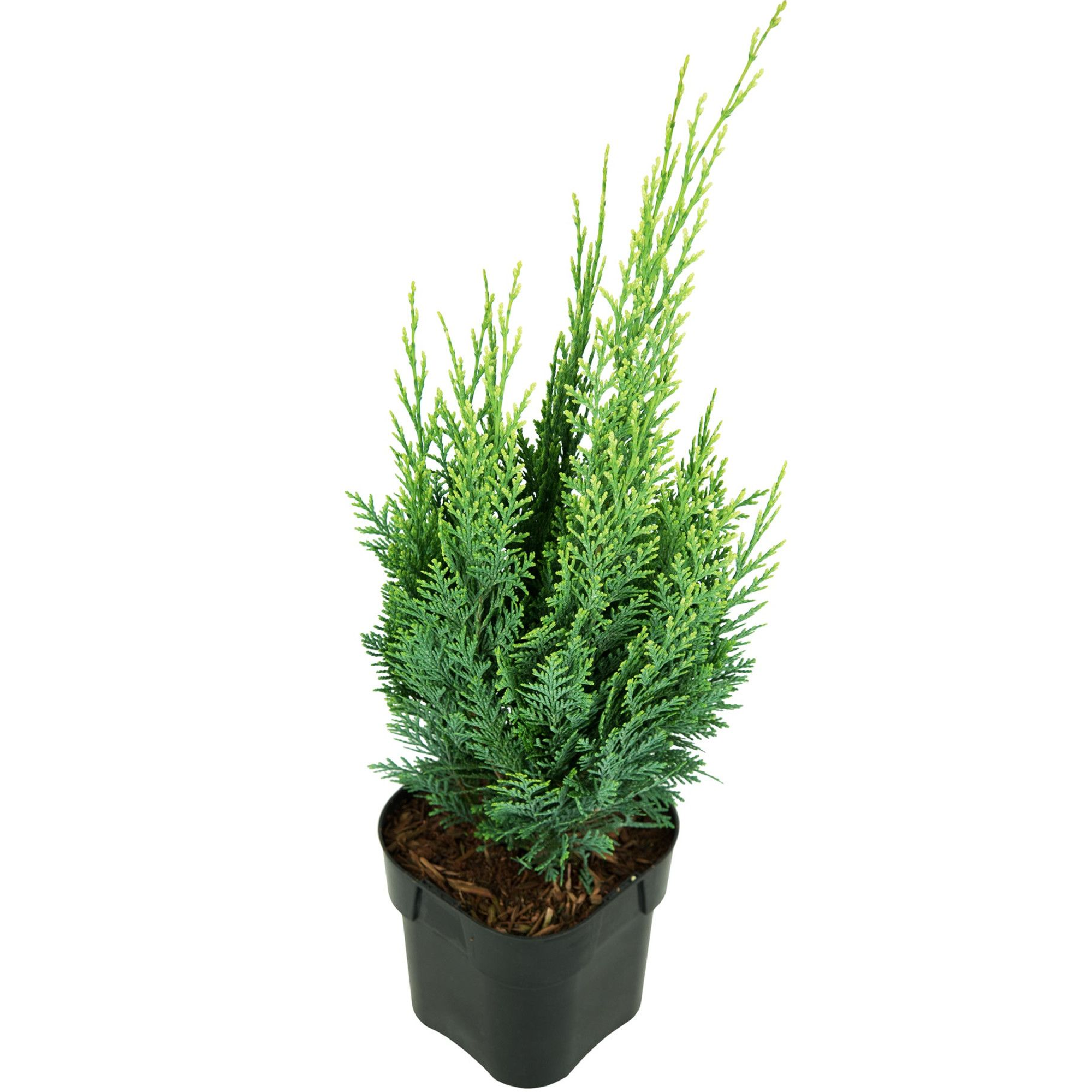 Chamaecyparis lawsoniana White Spot Evergreen Garden Cypress Conifer 9cm Pot