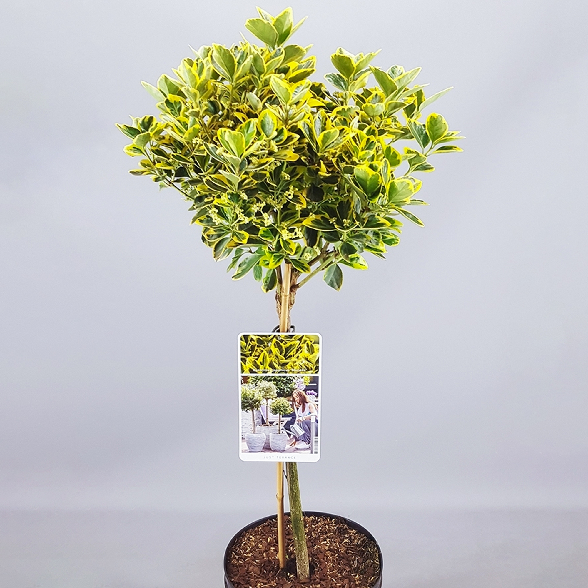 Small Trees For Borders: Standard Stem Potted Trees For