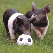 Pigs Footie Square Greeting Card Blank Inside