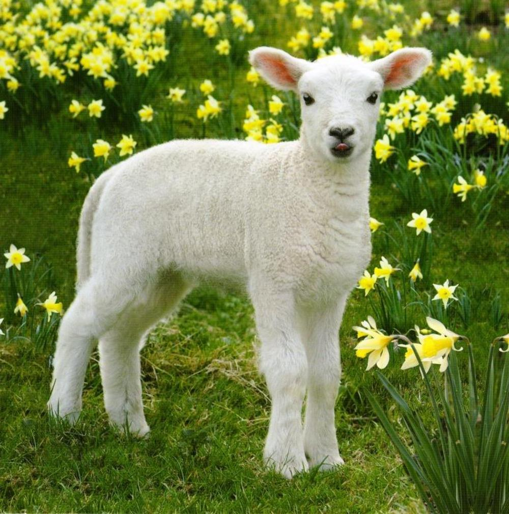 Easter Spring Lamb Photographic Greeting Card