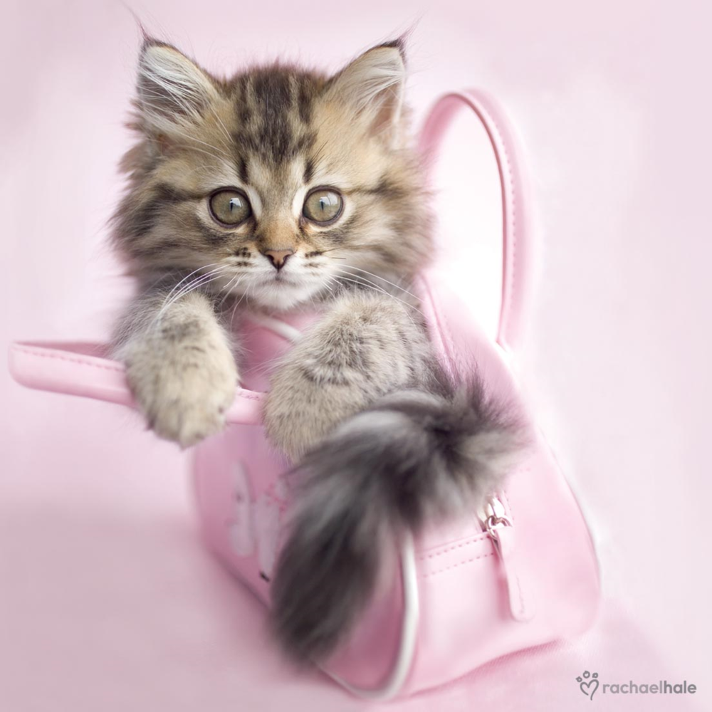 Kitten In Pink Bag Cute Greeting Card