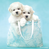 Puppies In Turquoise Bag Cute Greeting Card