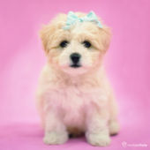 Puppy With Blue Ribbon Cute Greeting Card