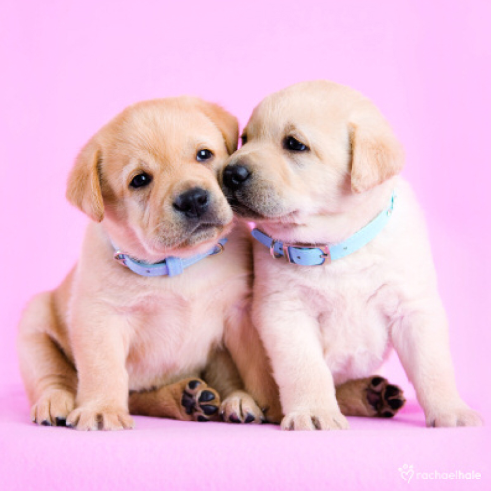 Puppies With Blue Collars Cute Greeting Card