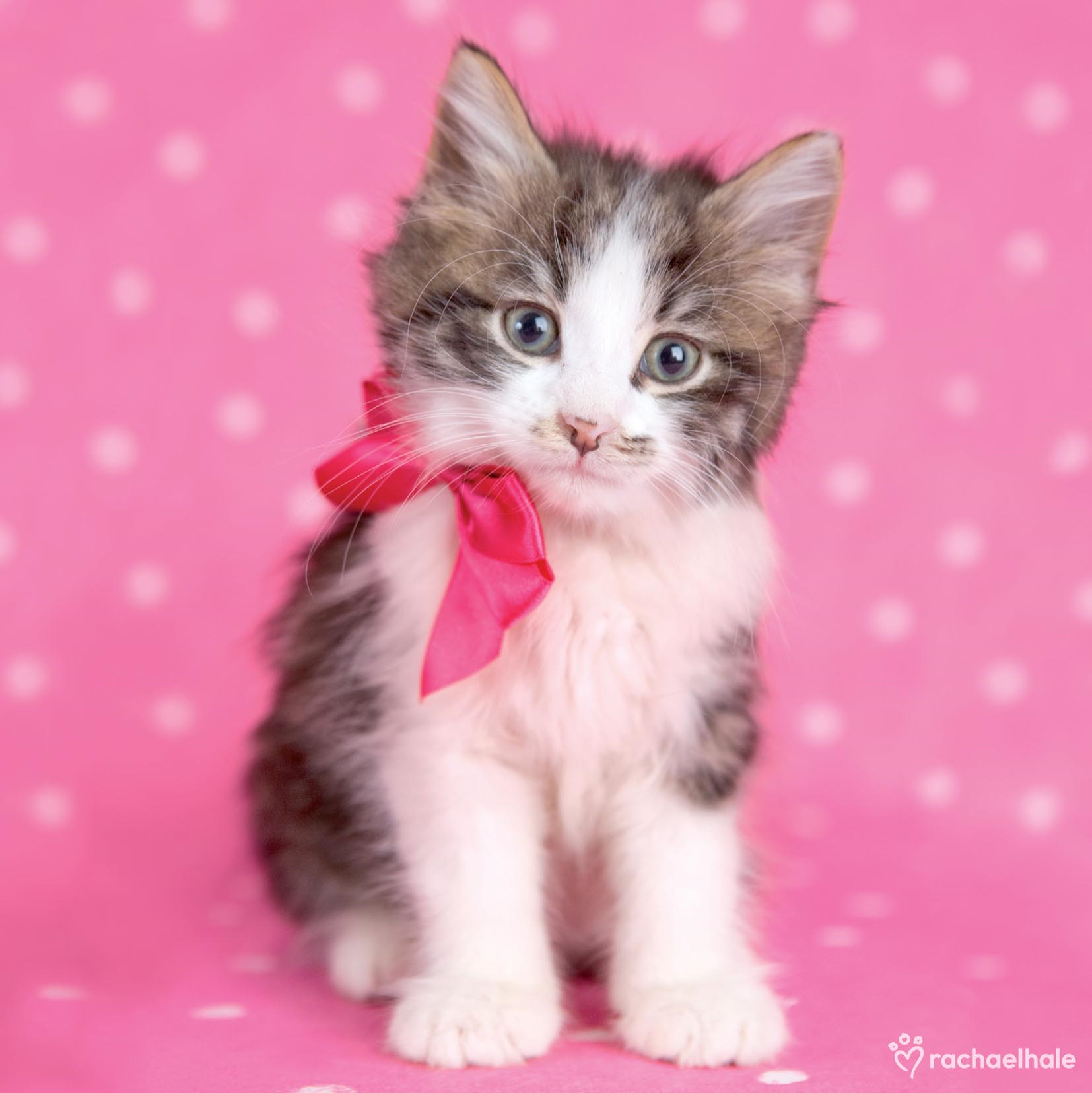 Kitten With Bright Pink Ribbon Cute Greeting Card Cards