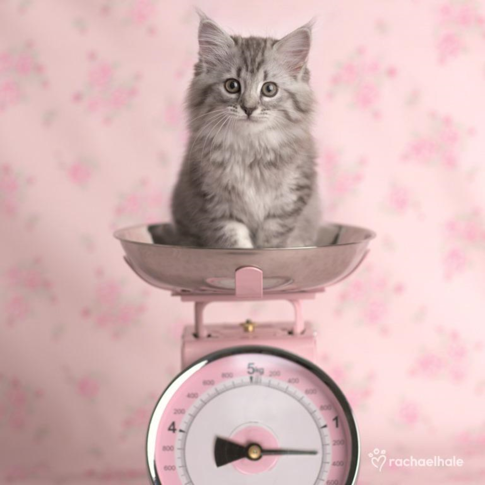 Kitten On Scales Cute Greeting Card