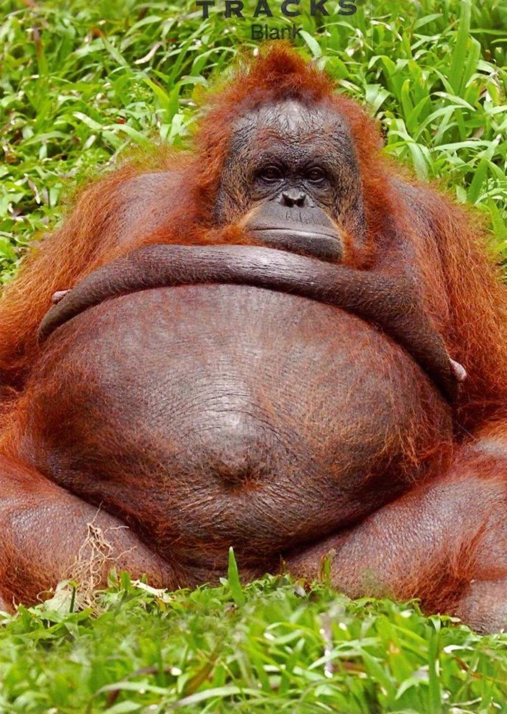 Orangutan Blank Photo Greeting Card