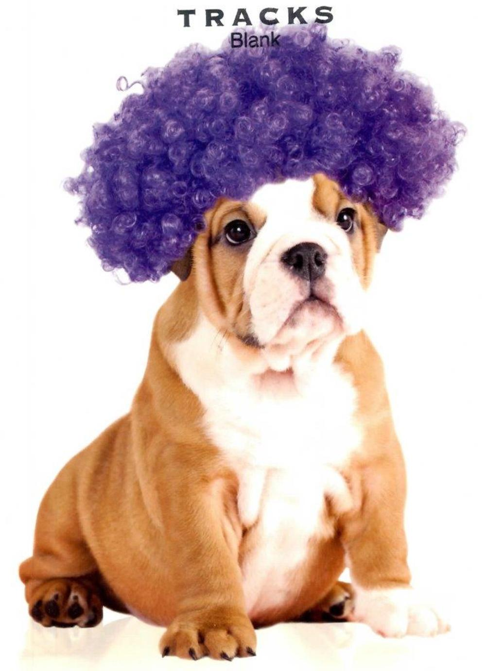 Bulldog In Wig Blank Greeting Card