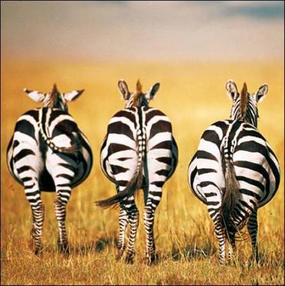 All Together Now Zebra Photo Art Greeting Card