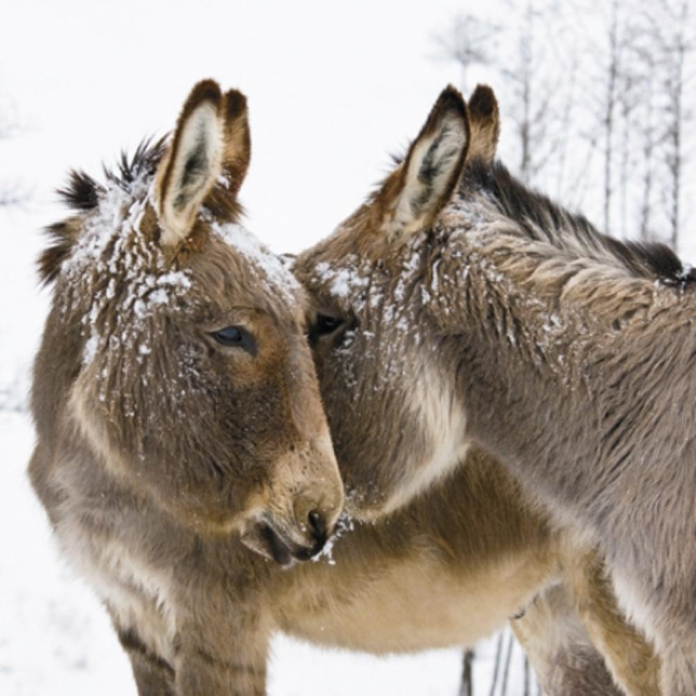 Pack of 8 Donkeys In The Snow NSPCC Charity Christmas Cards
