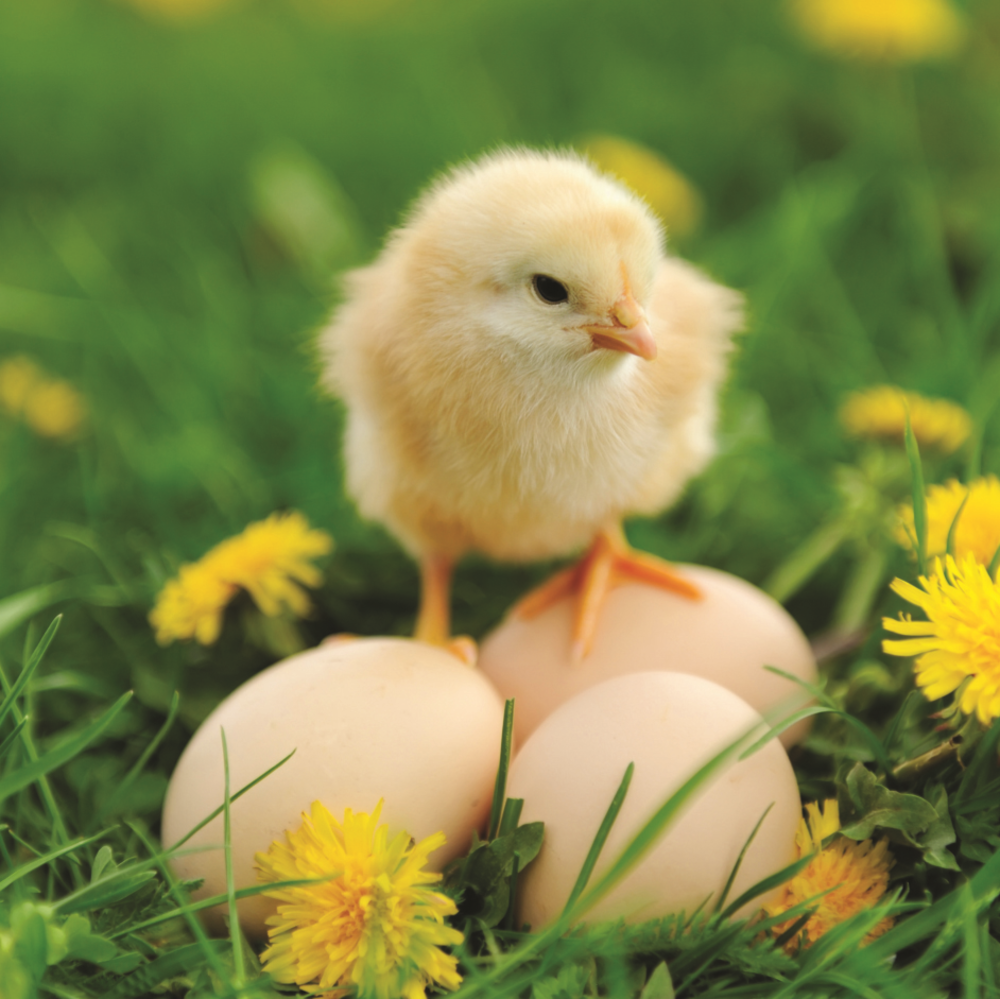 Cute Chick 3D Holographic Easter Card