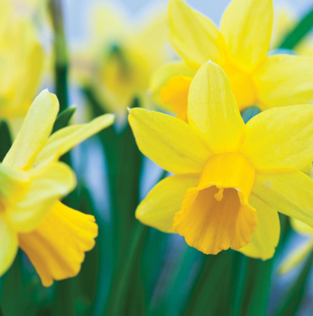 Daffodils 3D Holographic Easter Card