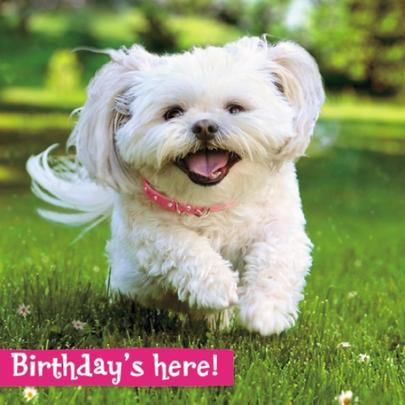 Avanti Birthday's Here Puppy Birthday Greeting Card