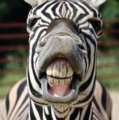 3D Holographic Zebra Greeting Card Blank Inside