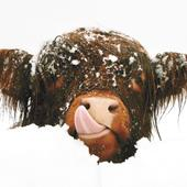 Pack of 8 Snow Cow Shelter Fairdeal Charity Christmas Cards