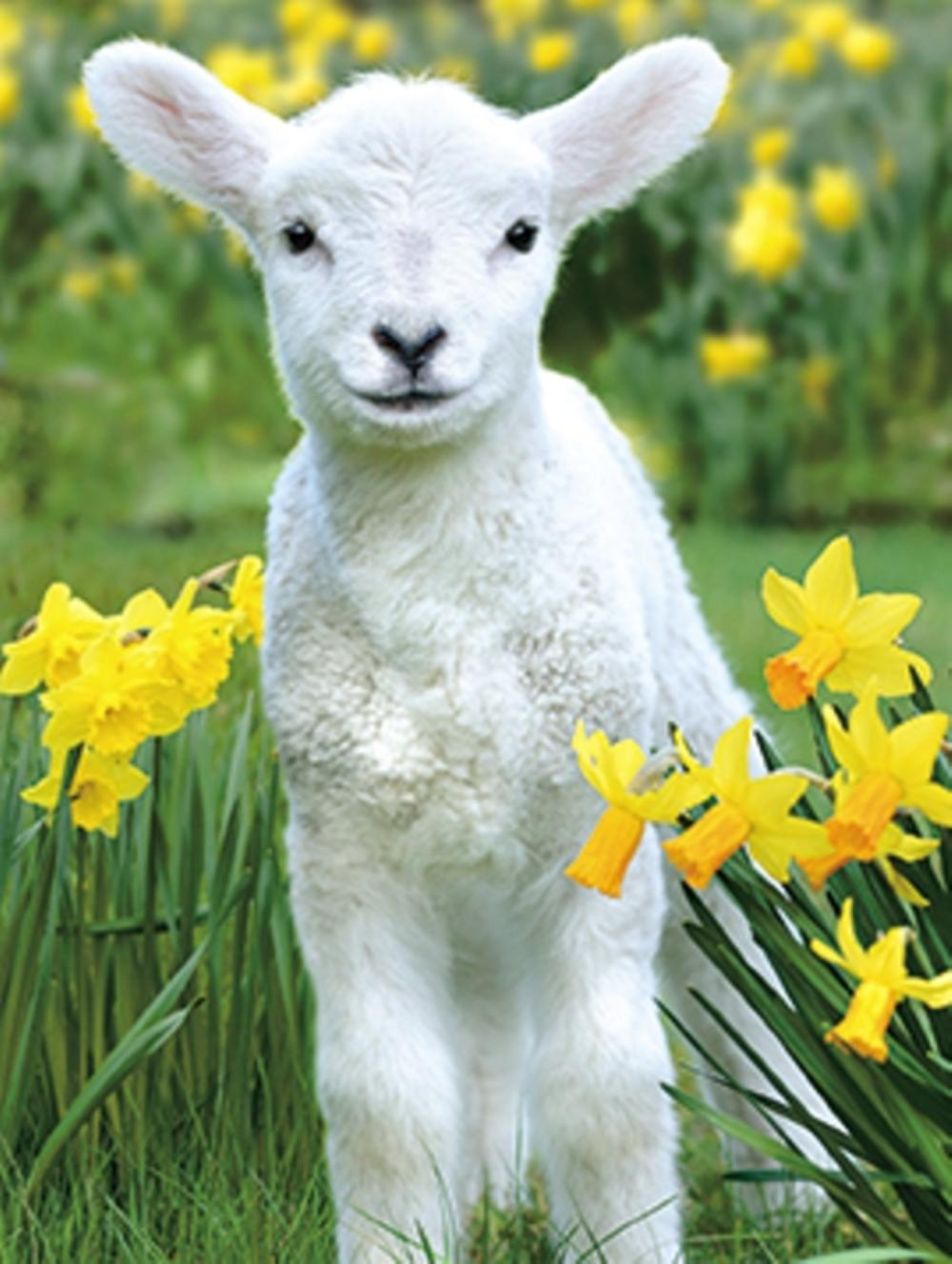 Pack of 4 Lamb & Dafs Mini Medici Happy Easter Greeting Cards