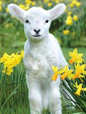 Pack of 4 Lamb & Dafs Mini Medici Happy Easter Greeting Cards