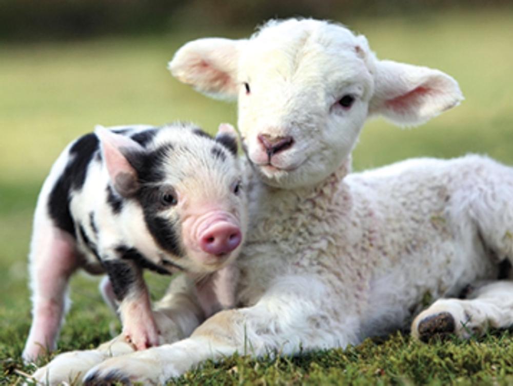 Pack of 4 Piglet & Lamb Mini Medici Happy Easter Greeting Cards