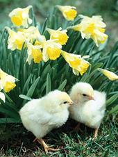 Pack of 4 Chicks & Dafs Mini Medici Happy Easter Greeting Cards