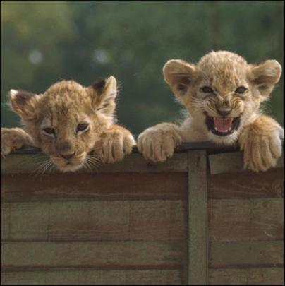 On The Prowl Lion Cub Framed Photo Art Greeting Card