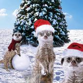 Festive MeerKats Googlies Christmas Card