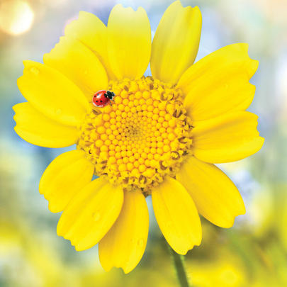 Yellow Flower With Lady Bird Blank Any Occasion Greeting Card