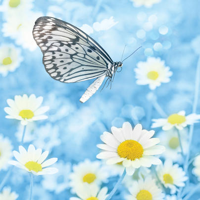 Butterfly And Daisies  Blank Any Occasion Greeting Card