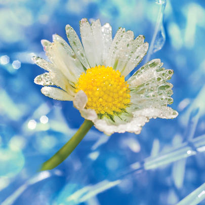 Daisy Blank Any Occasion Greeting Card