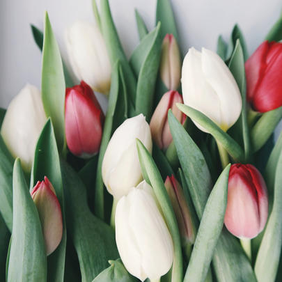 Tulips Blank Any Occasion Greeting Card