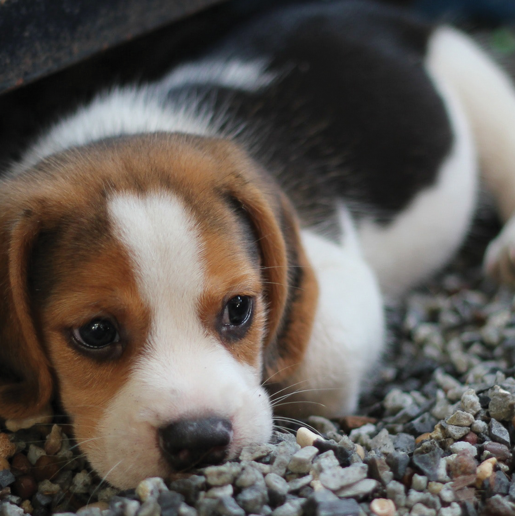 Beagle Puppy Blank Any Occasion Greeting Card Cards