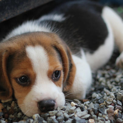 Beagle Puppy Blank Any Occasion Greeting Card