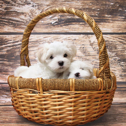 Puppies In Basket Blank Any Occasion Greeting Card