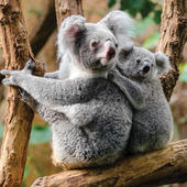 Koala Mum & Baby Blank Any Occasion Greeting Card