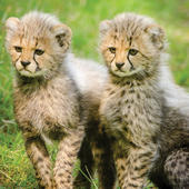 Leopard Cubs Blank Any Occasion Greeting Card