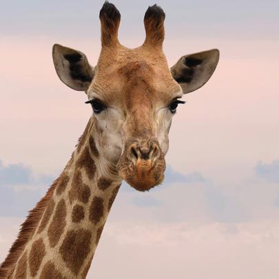 Giraffe Blank Any Occasion Greeting Card