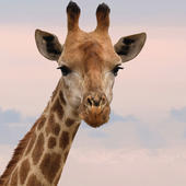 Giraffe Blank Any Occasion Greeting Card