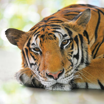 Tiger Blank Any Occasion Greeting Card