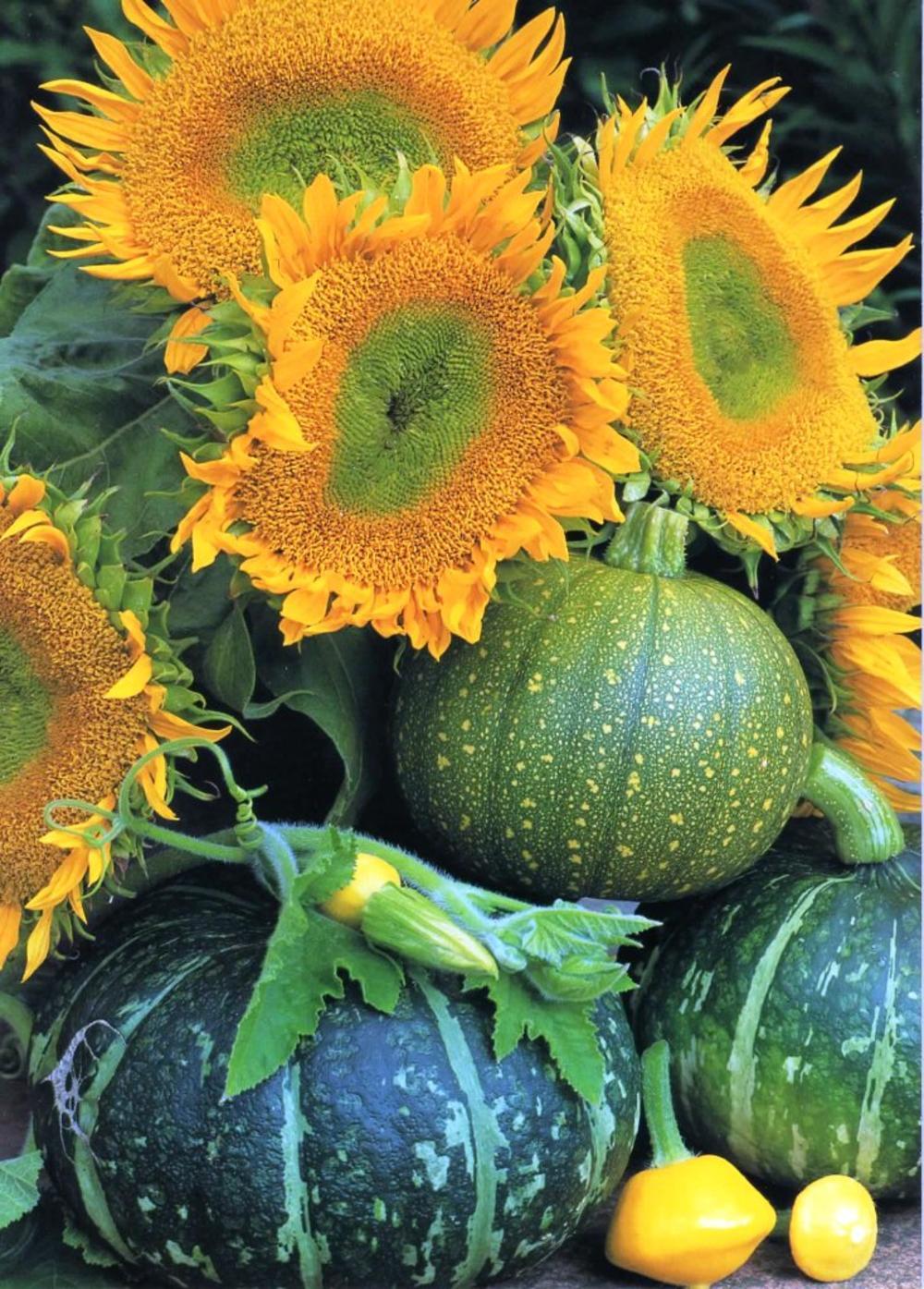 Sunflowers & Pumpkins Photo Art  Greeting Card Blank Inside